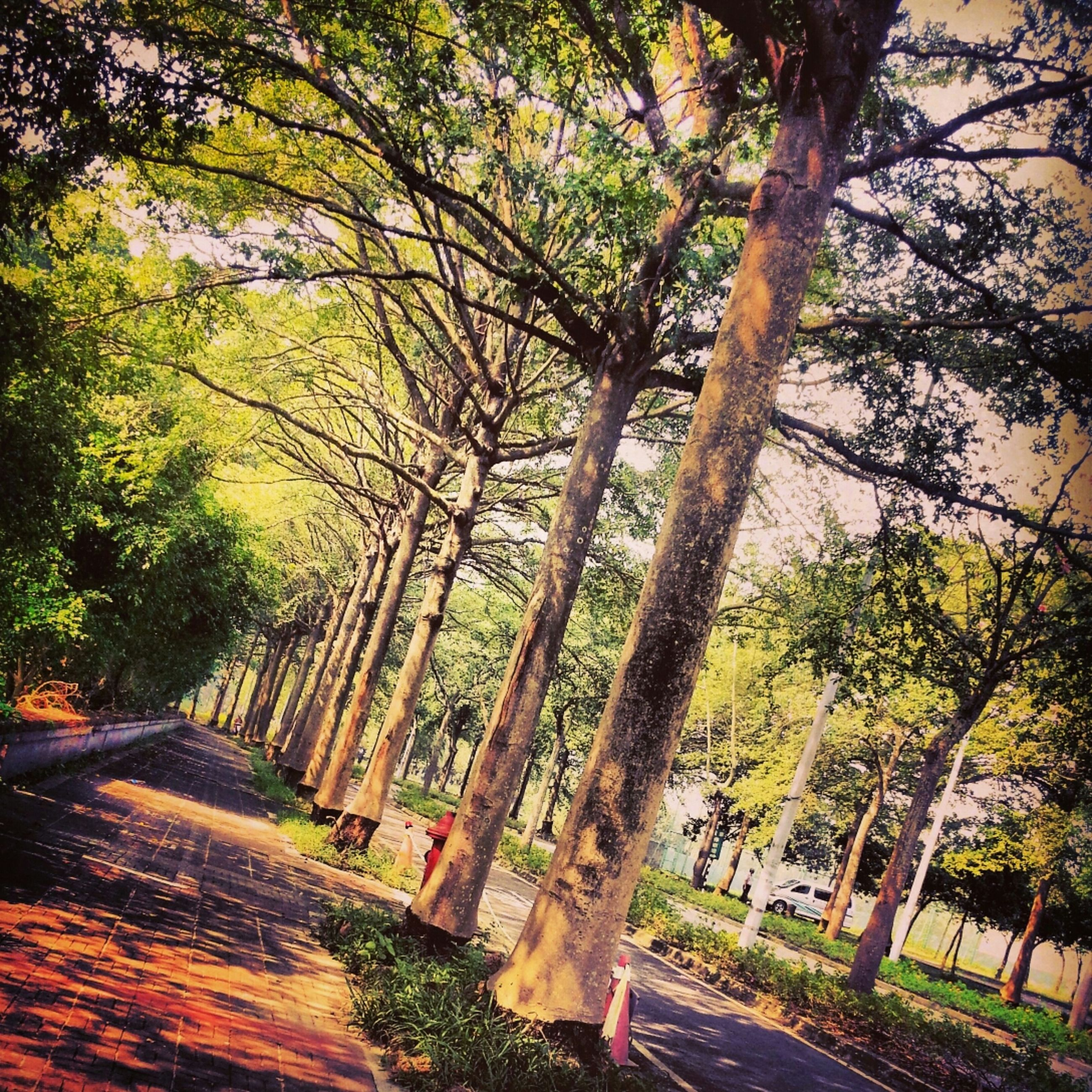 tree, the way forward, growth, branch, tranquility, transportation, tree trunk, road, nature, tranquil scene, beauty in nature, scenics, green color, sunlight, footpath, forest, autumn, treelined, outdoors, shadow