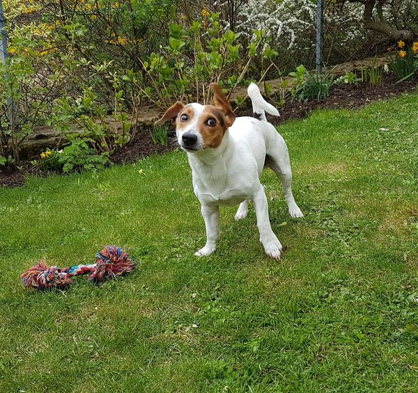 😂😂😂😂 Dog Pets One Animal Animal Themes Domestic Animals Outdoors No People Day Nature Flower Portrait Jrt Jrtlife Nature Photography Jack Russell Jrtlove Ilovemydog Looking At Camera Jackrussell Nature