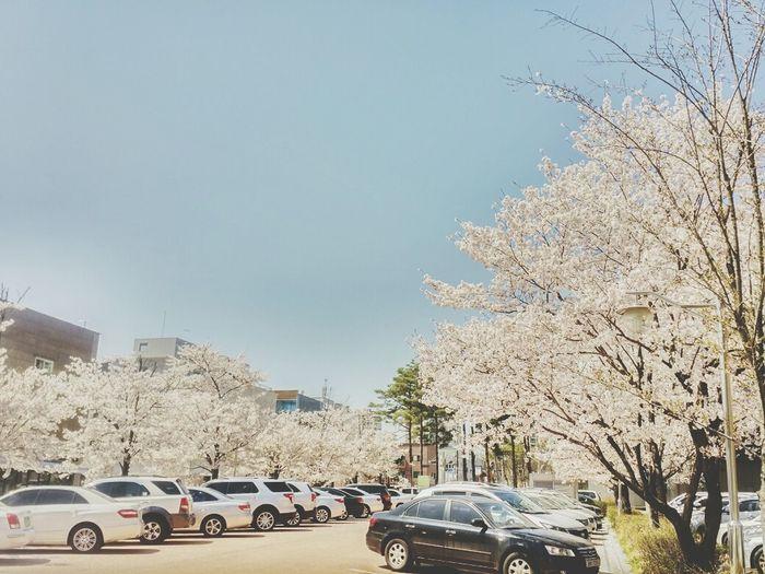Cherry Blossoms Spring Car Park Enjoying Life