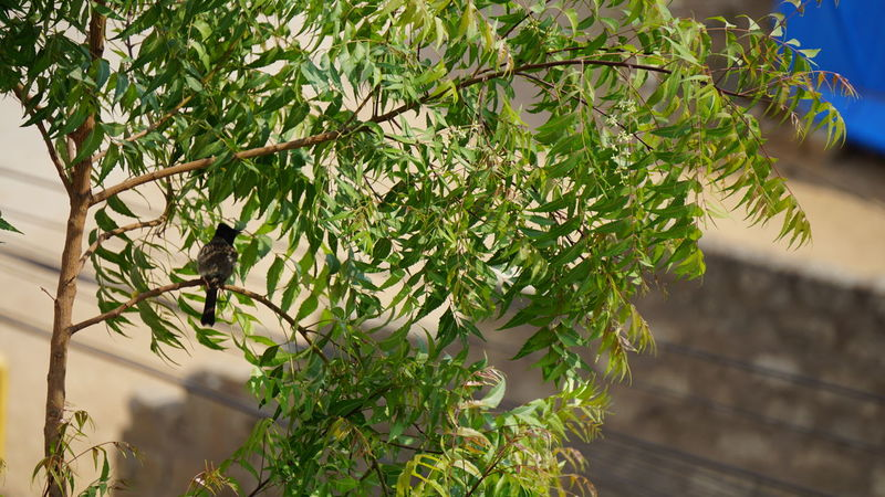 A small black bird hiding under Shadow of tree branch from Sunlight-Summer Diaries Beauty In Nature Branch Close-up Day Focus On Foreground Food Freshness Green Color Growth Healthy Eating Leaf Nature Neem Tree No People Nwin Photography Outdoors Plant Small Bird Sony Sony A6000 Sonyalpha Tree