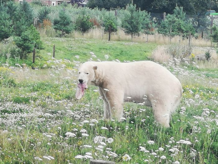 White dog standing on field