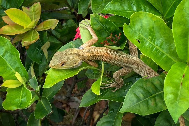Oriental Garden Lizard - lazing in the garden. Calotes Versicolor Changeable Lizard Camouflage Oriental Garden Lizard Garden Lizard Garden Lazing Around October 2018 Animal Themes Leaf Plant Part Animals In The Wild One Animal Animal Green Color Lizard Vertebrate Reptile Animal Wildlife Close-up Outdoors Plant Nature Day No People