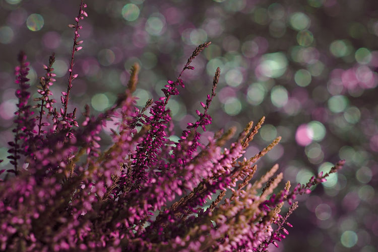 Calluna Heather