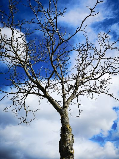 Tree Branch Tree Area Bare Tree Blue Deciduous Tree Tree Trunk Forest Sky Cloud - Sky