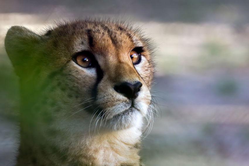 Animals Bigcats Cats Eyes Focus On Foreground FoSum1Spcl Nature Wild Wildlife