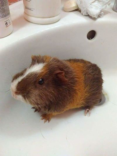 Putyi Guinea Pig My Cutie Hamster Beauty Picture Backgrounds Hungary Photos Hungarian_photographers Hungarian Hungary