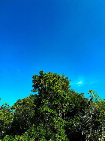 Look up. Tree Nature Blue Clear Sky Sky Pinaceae Growth Beauty In Nature No People Leaf Low Angle View Day Outdoors Treetop Adayinthailand Thailand Headup Headuphigh UpinTheSky Upintheair Chiang Mai | Thailand Chiang Mai Night Safari Tranquility