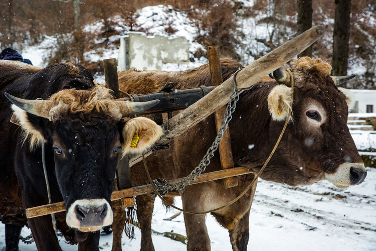 Animal Themes Close-up Cold Temperature Day Domestic Animals Livestock Mammal Nature No People Outdoors Oxen Snow Snowing Standing Weather Winter Yoke