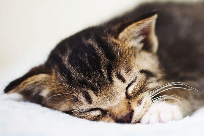 Cat Korean Shorthair Pet Portraits Pet Portraits