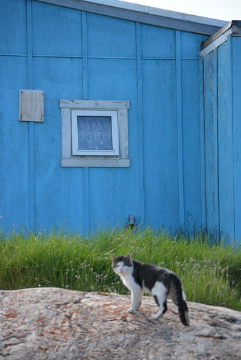 Ilulissat, Greenland, July | midnight sun | impressions of Jakobshavn | cat on a rock with a blue house in the background Day Outdoors Greenland Ilulissat Impression Scenery Mammal Domestic Animals Animal Themes Domestic Animal Pets Domestic Cat One Animal Vertebrate Cat Feline Building Exterior Built Structure No People House Building Whisker Architecture Blue