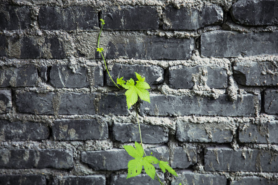 Leaves in front of a brick wall Backgrounds Beauty In Nature Brick Wall Close-up Day Detail Focus On Foreground Full Frame Green Green Color Growing Growth Leaf Leaves Nature No People Outdoors Plant Selective Focus Wall Colour Of Life