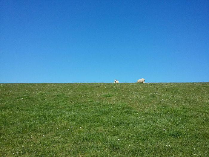 Two Sheep. · Friesland Frisia Germany Sheep🐑 LeVee Grass Green Blue Blue Sky Blue Halfs Twos Simplicity Rural Geometry