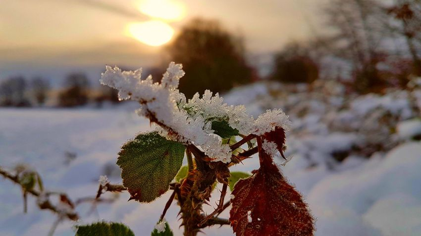 sunlit bramble No People Focus On Foreground Winter Beauty In Nature Branch Close-up