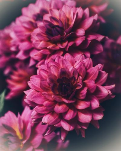 Flowering Plant Flower Vulnerability  Fragility Petal Beauty In Nature Close-up Dahlia No People Focus On Foreground Indoors  Red Bunch Of Flowers Nature Growth Freshness Inflorescence Flower Head Plant Pink Color
