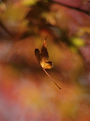 EyeEmNewHere Autumn Beauty In Nature Bokeh Bokeh Photography Change Day Leaf Maple Nature No People Outdoors