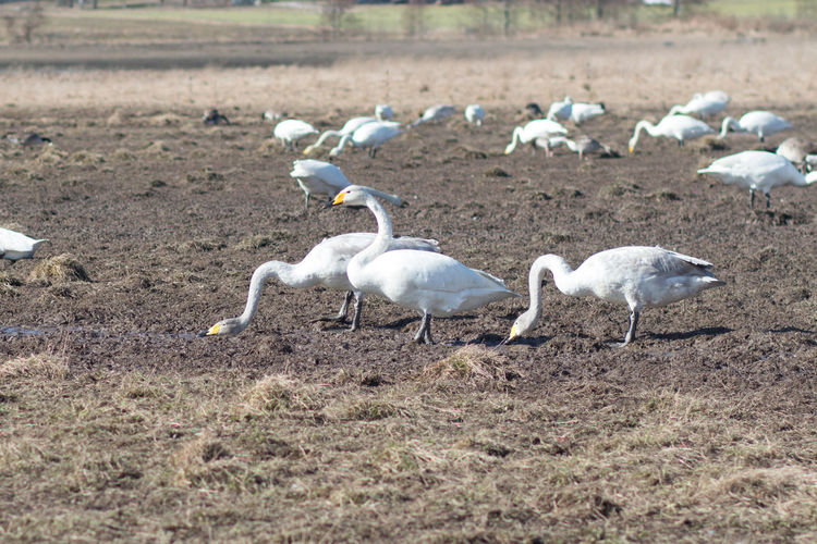 Group Of Animals Animals In The Wild Animal Animal Themes Bird Animal Wildlife Land Vertebrate Field Large Group Of Animals Day No People Nature White Color Landscape Selective Focus Zoology Focus On Foreground Full Length Flock Of Birds Animal Family Birds Of EyeEm  Birds Photography Swans Swans Of Eyeem White Swans Sweden