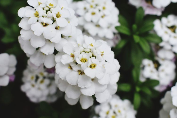 Lovely Flowers Flowering Plant Flower Plant Freshness Vulnerability  Beauty In Nature Fragility Selective Focus Botany No People Nature Inflorescence Outdoors Flower Head Petal Close-up Growth White Color Day Focus On Foreground