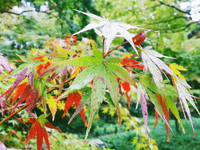 Maple Leaves Fall Autumn Autumn Leaves 秋 Autumn 2015 Tokyo Autumn 2015 Enjoying Autumn Enjoying Nature Enjoying Tokyo Enjoying The Colours Nature Nature_collection Nature Photography EyeEm Nature Lover Koishikawa Korakuen Tokyo Nature Travel Photography