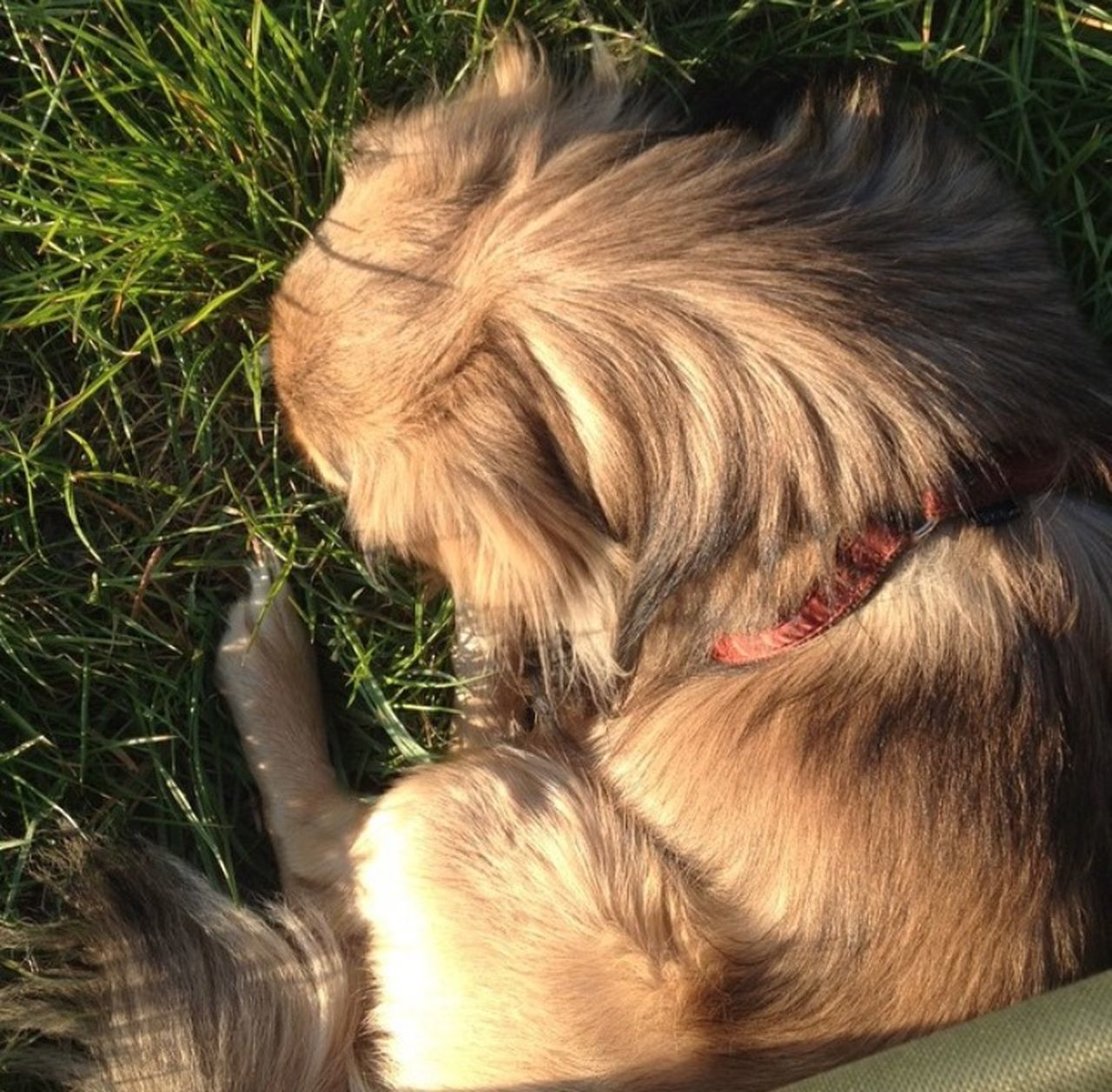 pets, dog, domestic animals, animal themes, one animal, mammal, animal hair, no people, high angle view, grass, day, close-up, outdoors, nature