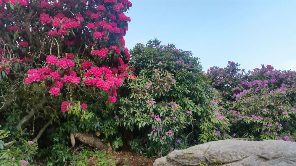 Northumberland Nature Green Flowers,Plants & Garden Rhododendron Cragside