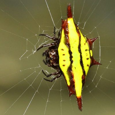 Diagonal spider..Spider Spiderworld Ig_spiders Ig_spider KINGS_INSECTS alalamiya_macro tgif_macro tgif_insects
