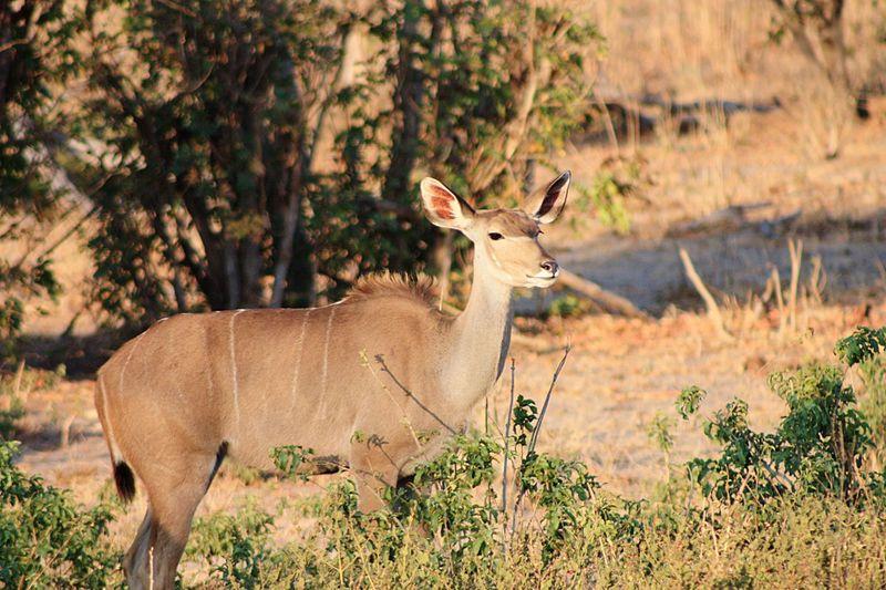 On safari...... Female Kudu Kudu EyeEm Selects Animal Themes Animal Animal Wildlife Animals In The Wild Mammal One Animal Plant Sunlight No People Looking At Camera Deer Nature Tree Horned Herbivorous Outdoors Vertebrate