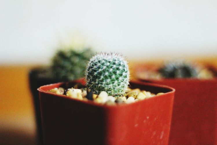 Close-up of potted cactus plants on table