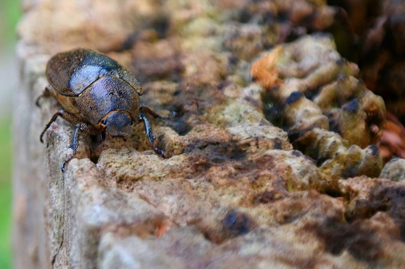Insect Beetle Bug Its A Bugs Life Macro Insects Insect Photography Nature Eyeem Insects