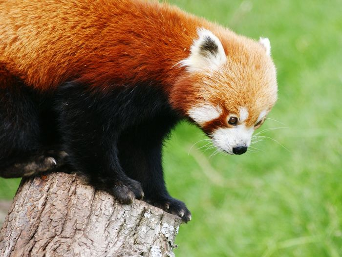 Close-up of red panda at zoo