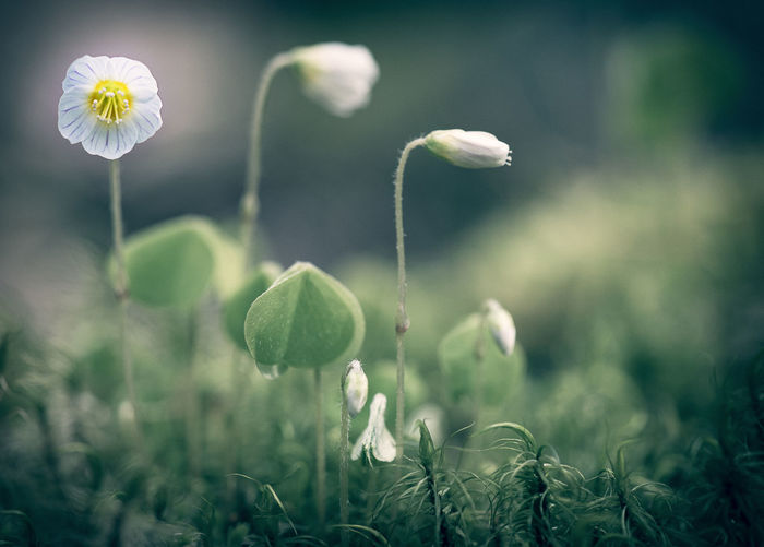 Wood sorrel Beauty In Nature Close-up Flower Fragility Growth In The Forest Light And Shadow Macro Photography Nature Outdoors Oxalis Acetosella Plant Selective Focus White Flower Wood Sorrel