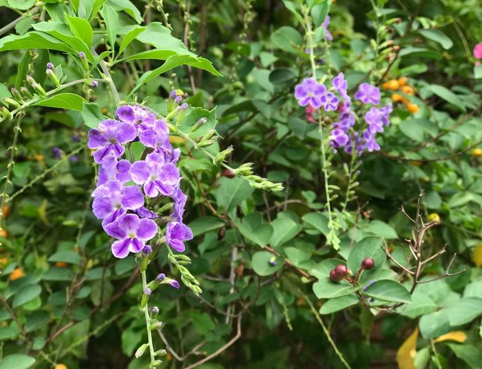 Flower Purple Growth Plant Beauty In Nature Nature Fragility Leaf Outdoors Day Petal Green Color No People Blooming Freshness Focus On Foreground Close-up Flower Head Petunia Tree Golden Dewdrop Pigeon Berry Flower Purple Flower Environment Plant