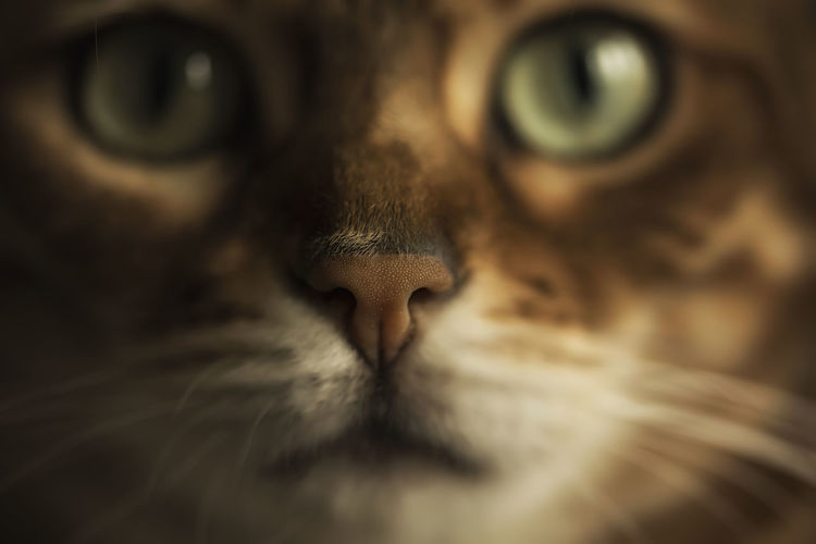 Bengal Cat Cat Close-up Coming In Face Feline Green Eyes Macro Macro Photography Maximum Closeness Netherlands Nose Pet Pets Structure