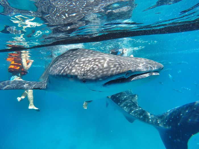 Whale Shark And Woman Underwater In Aquarium