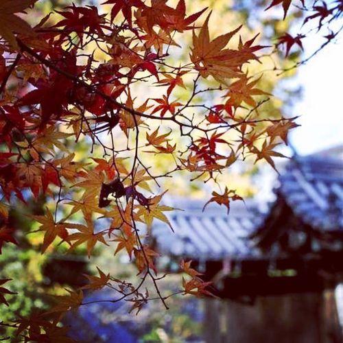#秋が深まりましたね #もう冬じゃ #そんな秋を楽しみましょう #寒いわぁ #もみじ綺麗でしょう #秋やったらな #冬のもみじは? #もう地味 #チャンチャン