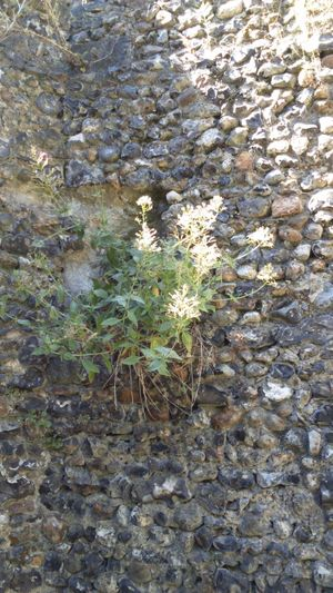 Stones Castle Walls Castle Tower Structure Castle Ruin Old Structure Old Building  Old Wall Castle Growing Wild Wildflowers Wild Flowers Growing In Strange Places Nature Hertford Stone Wall Wall Heritage English Heritage Growing Wild Growing With Nature