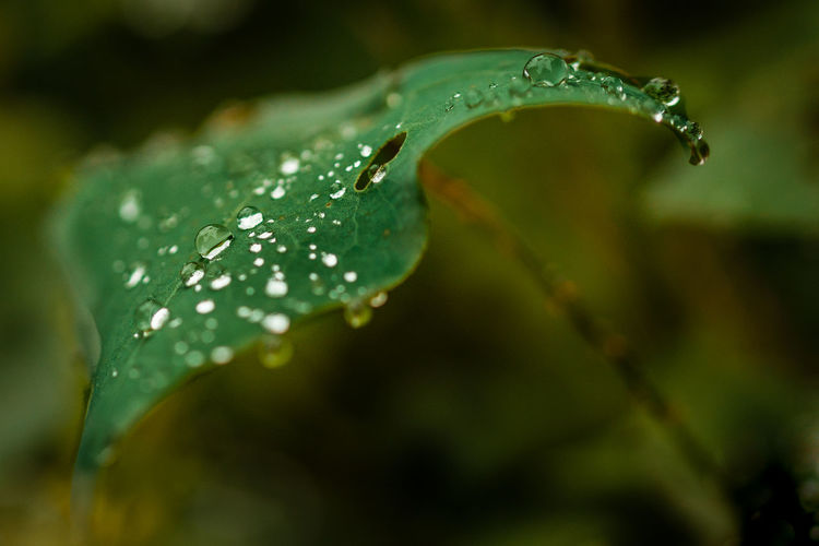 Early morning dew drops on green leaf Garden Photography Garden Green Macro Leaf Macro Photography Beauty In Nature Blade Of Grass Close-up Dew Drop Flower Freshness Green Color Growth Leaf Nature No People Outdoors Plant Plant Part Purity Rain RainDrop Selective Focus Water Wet