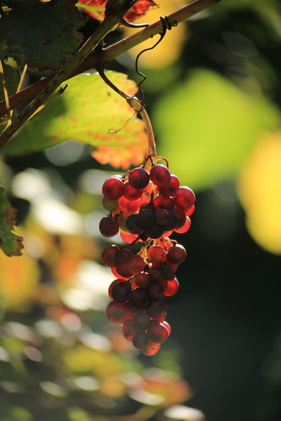 London vineyard 😀Grapes🍇 Grape Fruit Plant Beauty In Nature Nature Food And Drink Plant Part Close-up Branch Hanging Nature Beauty In Nature Vine - Plant Nature Photograhy Eyem Nature Nature Photography 3XSPUnity Taking Photos Eyem Nature Lovers  Autumn Colours Autumn Sunlight And Shadows