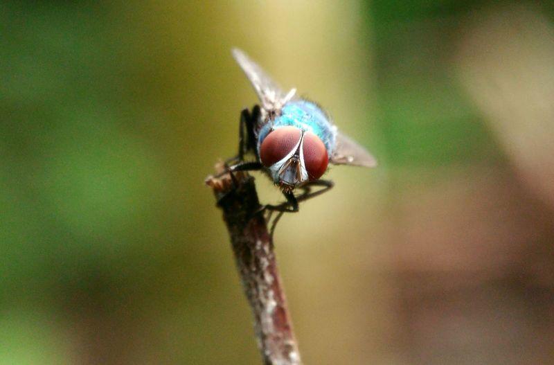 macro fly Macro