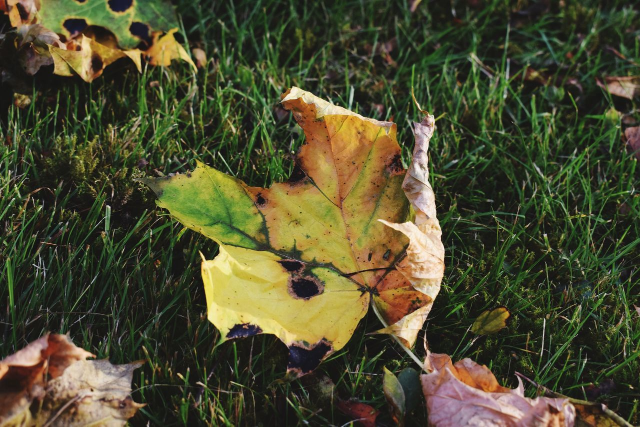 leaf, plant part, plant, autumn, grass, dry, land, nature, field, change, green color, leaves, no people, day, yellow, growth, beauty in nature, maple leaf, close-up, outdoors, natural condition, fall