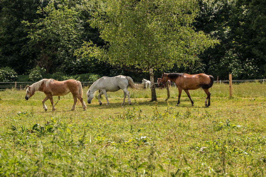 Horses on the green meadow Animal Animal Family Animal Themes Animal Wildlife Day Domestic Domestic Animals Field Grass Grazing Group Of Animals Herbivorous Horse Land Livestock Mammal Nature No People Outdoors Pets Plant Tree Vertebrate