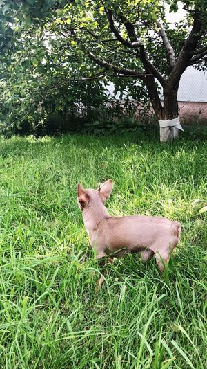 Toy dog той тойтерьер Russian Toy Terrier Toy Terrier собака животные Plant Grass Animal Animal Themes One Animal Mammal Green Color Vertebrate Growth Land Nature Day No People Animals In The Wild Field Domestic Animals Pets Animal Wildlife Sunlight Side View