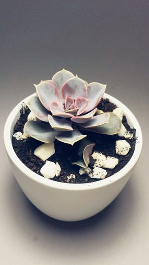 Succulents Pink Beauty In Ordinary Things Plant Photography Echeveria Plant Succulent Beautiful