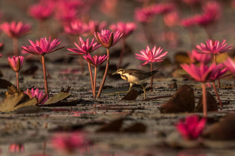 Bird amidst pink lilies on lake