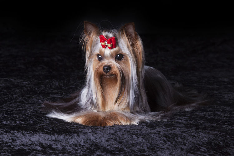 Yorkshire terrier relaxing on rug