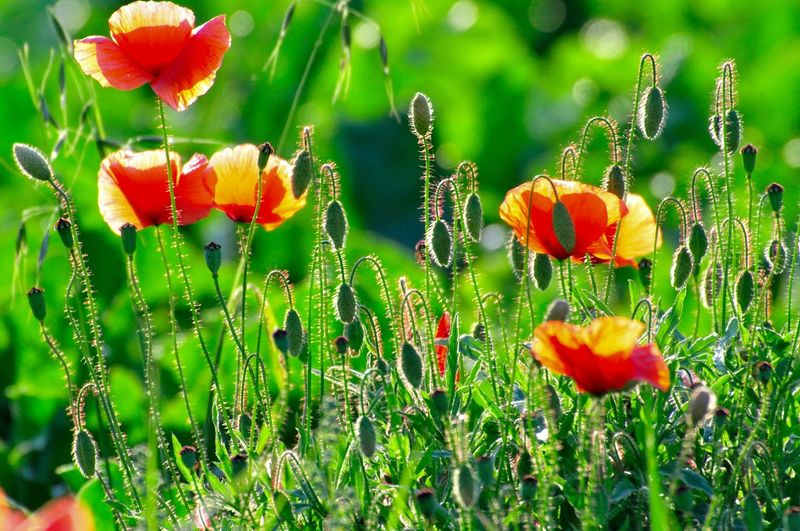 Beauty In Nature Blooming Close-up Contrast Cornflowers Day Flower Flower Head Fragility Freshness G Green Color Growth Leafes Nature No People Outdoors Petal Plant Poppy Yellow Flower