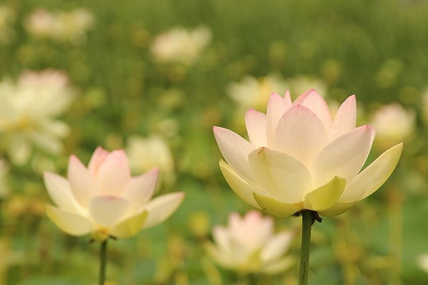 Beauty In Nature Close-up Flower Flower Head Japan Lotus Lotus Water Lily Nature Outdoors Pink Color