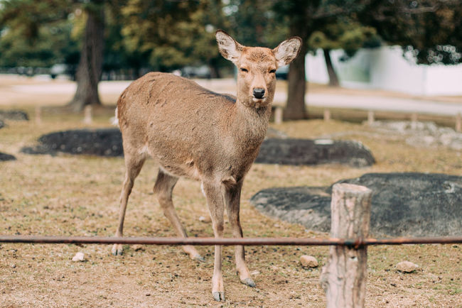 Suspicious Deer. Animals In The Wild Deer Deer Fence Looking At Camera Nara Nara,Japan Nature One Animal Suspicious Wildlife