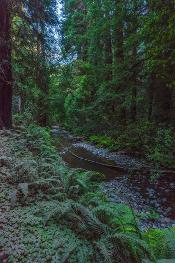 Redwoods Tree Forest Plant Land Growth Tranquility Green Color Nature Beauty In Nature Tranquil Scene Scenics - Nature No People Non-urban Scene WoodLand Day Water Lush Foliage Foliage Idyllic Environment Outdoors Flowing Rainforest Flowing Water