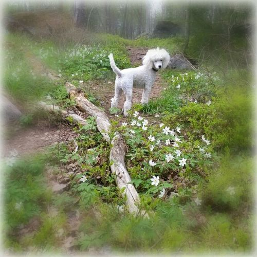 Pudel I Love My Dog In The Forest Knivsta