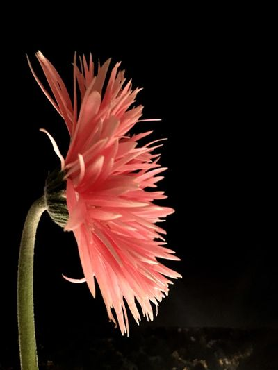 Flowering Plant Flower Close-up Beauty In Nature Freshness Plant Black Background Flower Head Petal Inflorescence Fragility Pink Color Studio Shot No People Indoors  Nature Vulnerability  Red